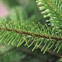 Wat is beter voor het milieu, een kunstkerstboom of een echte kerstboom?